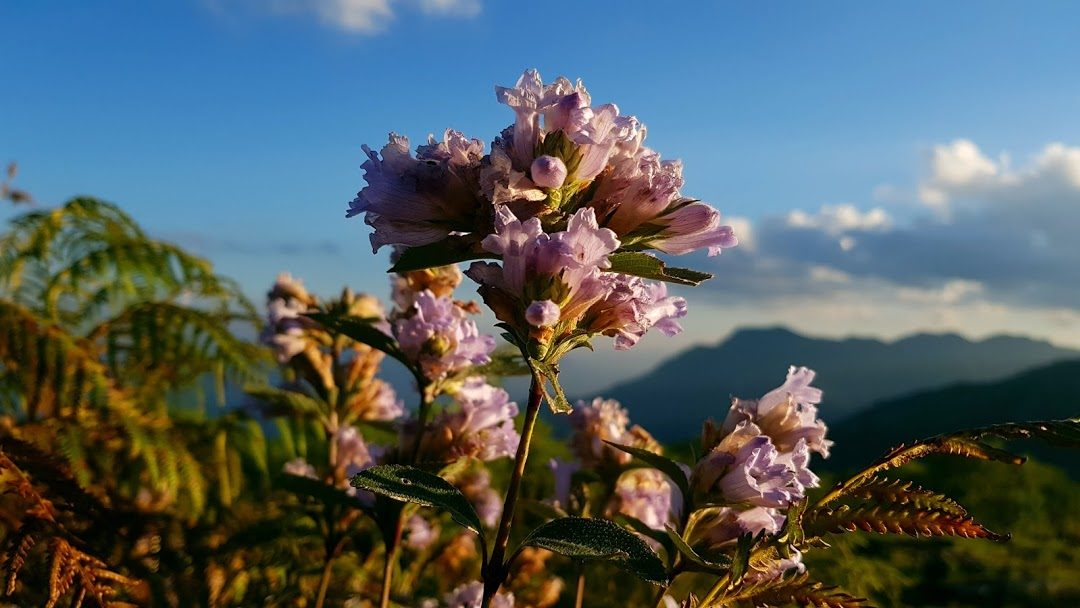 Neelakurinji- All the roads lead to Neelakurinji in 2018