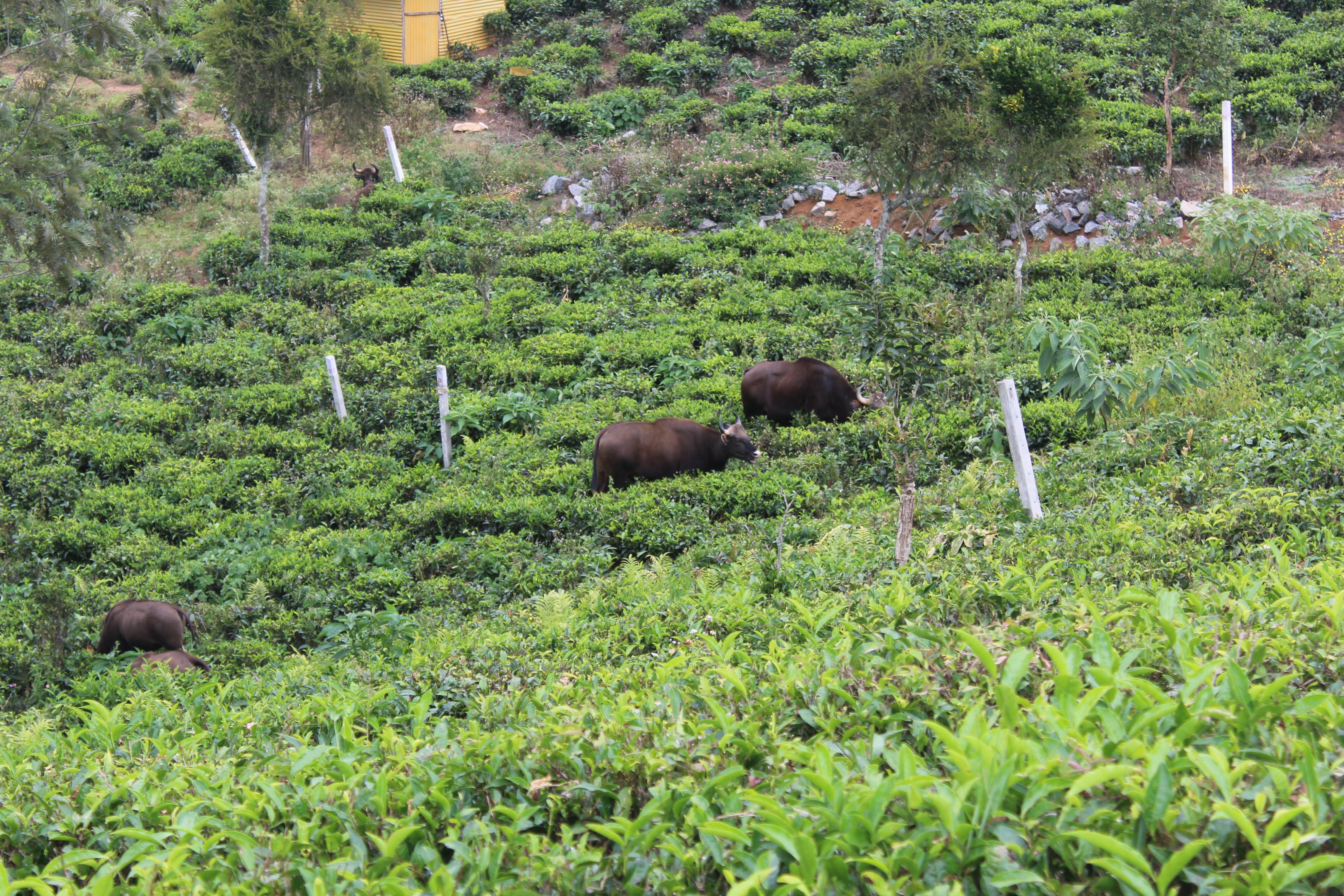 Bison in Kotagiri, Ooty