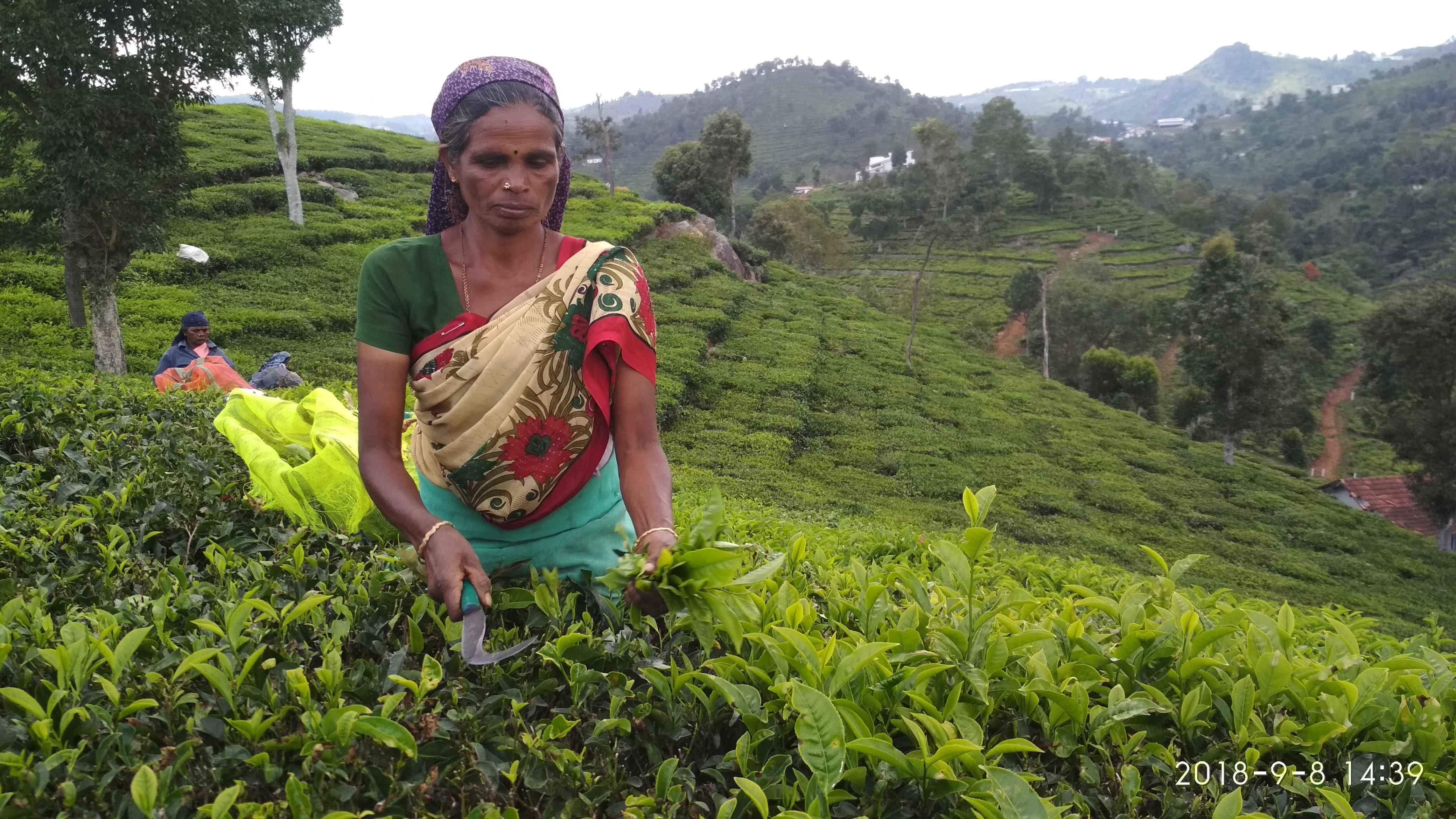 Tea Gardens in Kotagiri, Ooty, Tamil Nadu