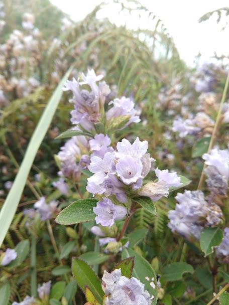 Neelakurinji Flower