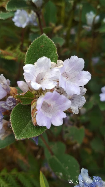 Neelakurinji Flower, Ooty