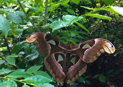 Atlas Moth in Jungle